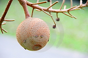 Fruitage Hangs On The Branch Stock Photography - Image: 20537172