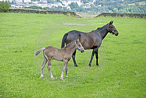 Chestnut Mare And Foal Stock Image - Image: 20537601