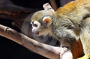 Squirrel Monkey Stock Photography - Image: 20541232
