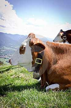 Cow In The Alps Royalty Free Stock Photo - Image: 20542145