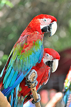 Pair Of Macaw Stock Photo - Image: 20542750