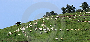 Sheep In Grassland Royalty Free Stock Image - Image: 20542896