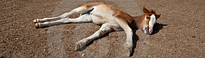Baby Horse Lying. Stock Photos - Image: 20548673
