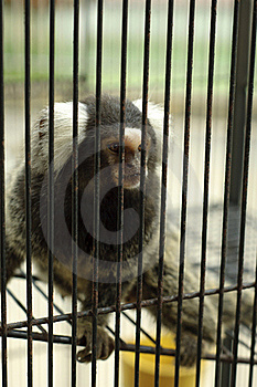 The Sad Captive Monkey In The Cage Royalty Free Stock Photos - Image: 20550578