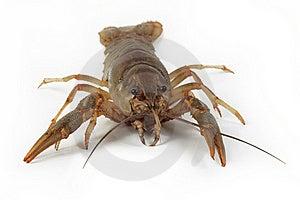Alive Crayfish Royalty Free Stock Images - Image: 20554659