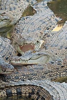 Ferocious Crocodile Stock Image - Image: 20558601