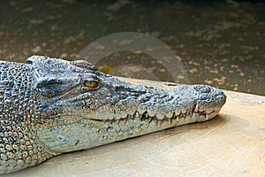 Ferocious Crocodile Royalty Free Stock Photography - Image: 20558637