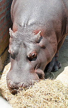 Hippo Eating Royalty Free Stock Photos - Image: 20565208