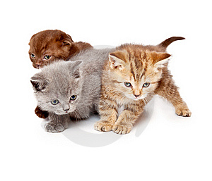 A Little Scottish Straight Kitten Is On The Floor Royalty Free Stock Photo - Image: 20567175