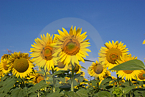Bees Pollinate Sunflowers Stock Photos - Image: 20567703
