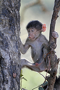 Young Baboon Royalty Free Stock Photography - Image: 20570057