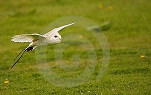 Bob The Barn Owl I Stock Photos - Image: 20575303