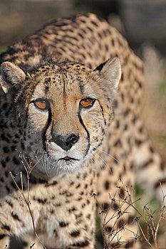Cheetah Royalty Free Stock Photography - Image: 20581027