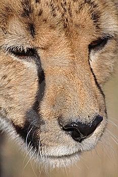 Cheetah Royalty Free Stock Photo - Image: 20581045
