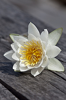White Lily Royalty Free Stock Photography - Image: 20581617
