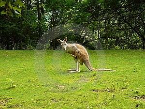 袋鼠macropus红色rufus 免版税库存照片 - 图片: 20582078