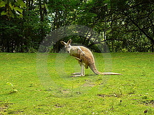Rode Kangoeroe (rufus Macropus) Royalty-vrije Stock Foto's - Afbeelding: 20582078