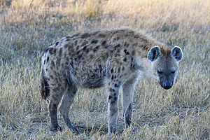 Spotted Hyena Royalty Free Stock Photos - Image: 20583628