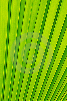 Green Palm Tree Leaf As A Background Stock Photo - Image: 20587690
