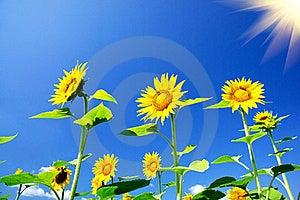 Fine Sunflowers And Fun Sun In The Sky. Stock Photo - Image: 20589920