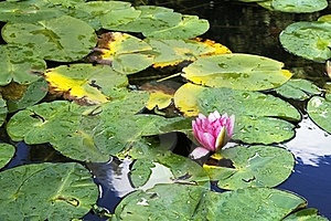 WATER LILY IN A POND Royalty Free Stock Image