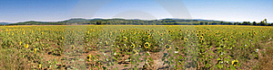 Sunflower Big Panorama Tuscany XL Dimension Royalty Free Stock Photography - Image: 20603207