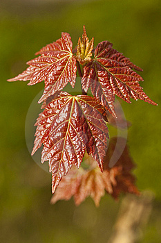 Leaf Of Maple Stock Photo - Image: 20614620