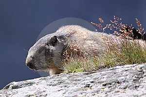 Marmotta Fotografia Stock Libera da Diritti - Immagine: 20615385