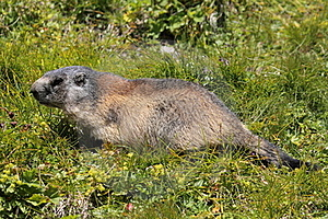 Marmotte Alpestre Photographie stock libre de droits - Image: 20615417