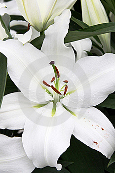 White Lilies Royalty Free Stock Photo - Image: 20616085