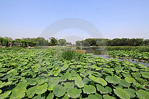 Lotus Pond In A Park Royalty Free Stock Photo - Image: 20620255