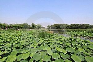 Lagoa Dos Lótus Em Um Parque Foto de Stock Royalty Free - Imagem: 20620255