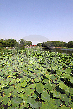Lotus Pond In A Park Stock Photography - Image: 20620302