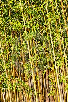 Bamboo Stock Image - Image: 20626071