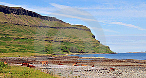 Cows On The Beach At Loch Beg Stock Photo - Image: 20628320