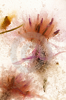 Frozen Flowers. Blossoms In The Ice Cube Stock Photos - Image: 20631363