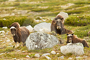 The MuskOx Stock Images - Image: 20637024