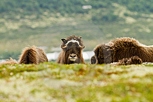 The MuskOx Stock Images - Image: 20637064