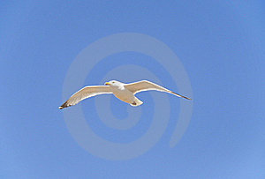 A Seagull Stock Image - Image: 20639281