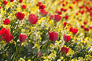 Red Tulips Royalty Free Stock Photo - Image: 20639315