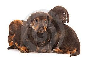Dachshund Puppies Royalty Free Stock Photos - Image: 20639698