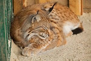 Sova För Bobcat Royaltyfri Foto - Bild: 20639765