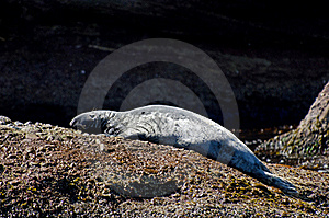 Gray Seal Royalty Free Stock Photography - Image: 20642997