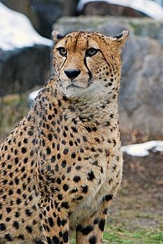 Cheetah Stock Photography - Image: 20644412