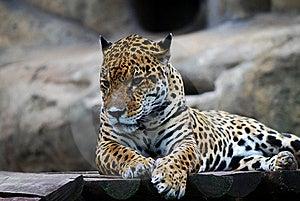 Leopard Portrait Stock Photos - Image: 20644443