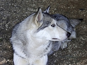 Husky Dog Is Resting In His Cage Stock Photos - Image: 20656733