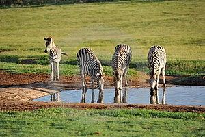 Burchells Zebras At Waterhole Early Morning Stock Photo - Image: 20661940