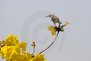 African Female Sunbird Royalty Free Stock Photos - Image: 20667588