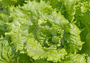 Lettuce salad Stock Images