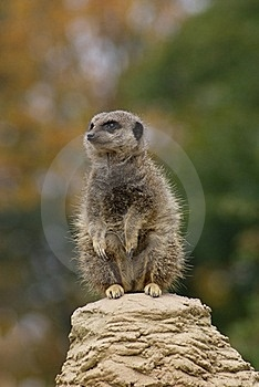 Meerkat Royalty Free Stock Images - Image: 20675999